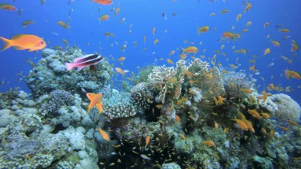 Cover Image for Sea Coral Reef
