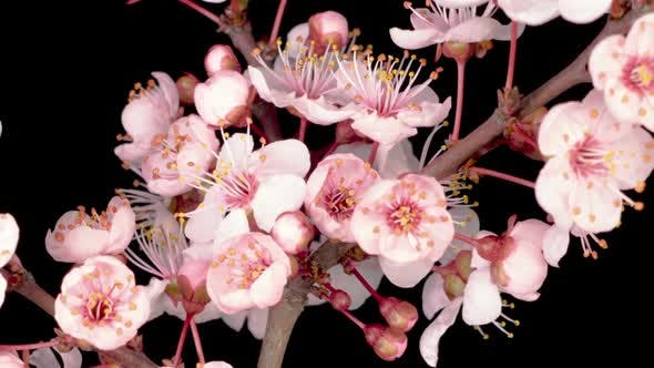 Cover Image for White Flowers Blossoms on the Branches Cherry Tree