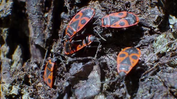A Small Group of Pyrrhocoris Apterus Sits on the Bark of a Tree. Macro Video.