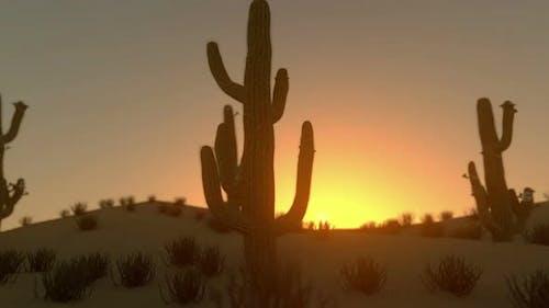 Sunrise On Saguaro Cactus In Blooming