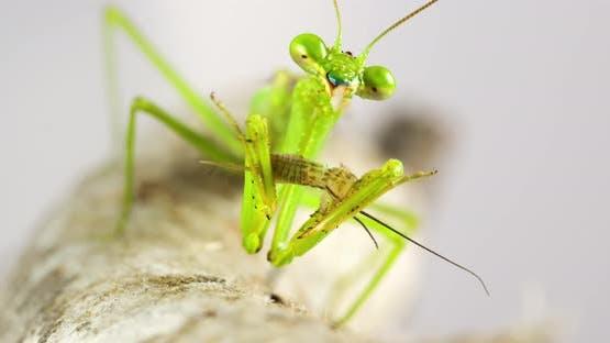 Macro Praying Mantis Eating A Cricket