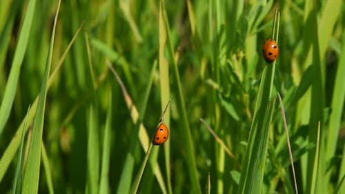 Two lady bugs in green grass in the wind