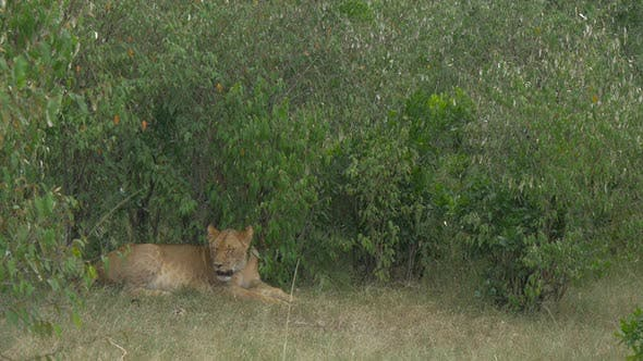 Thumbnail for Spotted lioness resting near bushes