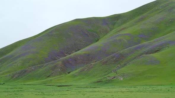Meadow Covered With Purple Flowers on Treeless Hills