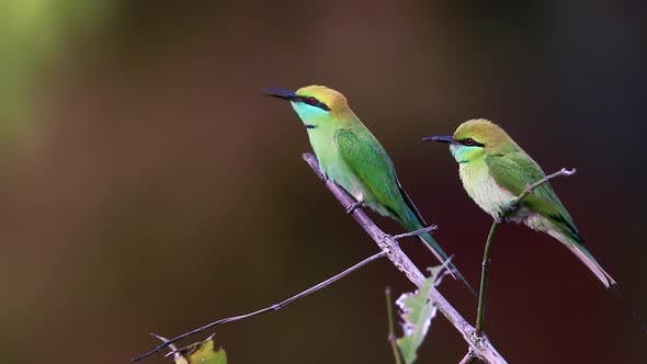 Thumbnail for Green bee-eater in Bardia national park, Nepal