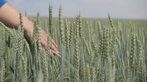 Field. Woman's Hand Stroking the Ears of Grain Crops.