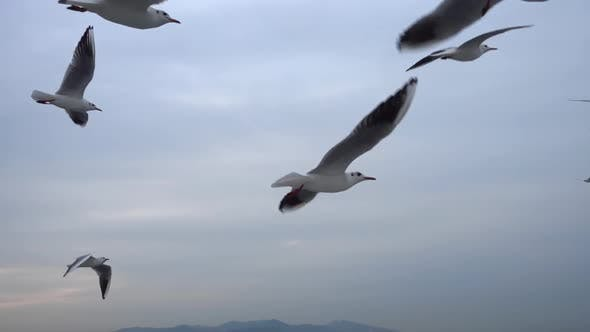 Thumbnail for Flock Of Seagulls Flying Across The Sky. Close Up 2
