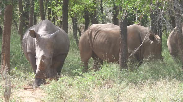 Cover Image for Group of rhinos in the forest of Hlane Royal National Park