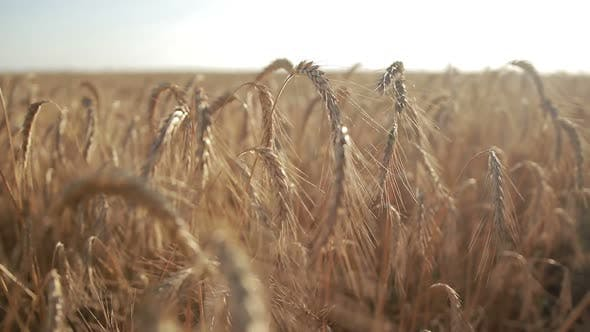 Thumbnail for Golden Wheat Field on Sunny Day
