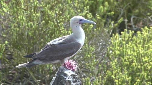 The Red-Footed Booby at Punta Pitt