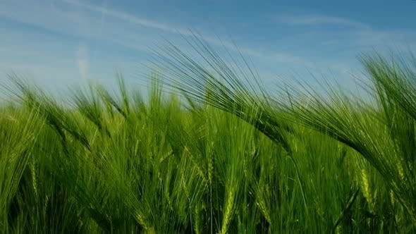 Cover Image for Green Ripe Wheat Field