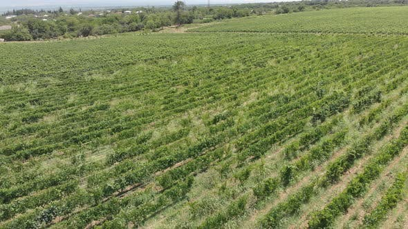 Thumbnail for Aerial flight over beautiful vineyard landscape in Tsinandali, Georgia