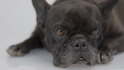 A French Bulldog Resting