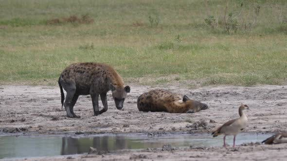 Thumbnail for Two spotted hyenas near a pond