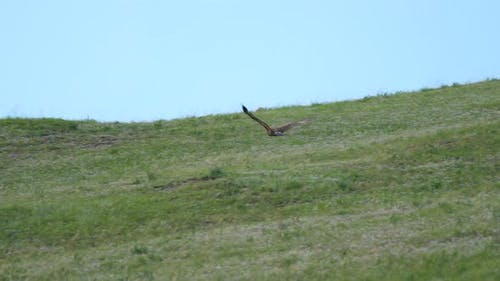 Wild Eagle Flying on Hill