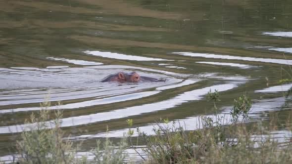 Hippo in river at the Pilanesberg Game Reserve