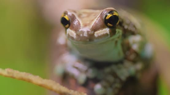 Thumbnail for Mission Goldeneyed Tree Frog or Amazon Milk Frog Trachycephalus Resinifictrix