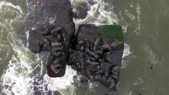 Thumbnail for The View Over the Life of Wild Fur Seals, Inhabiting the Area in Uruguay. South America