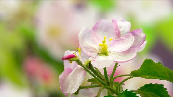 Thumbnail for Apple Blossom Timelapse on Pink