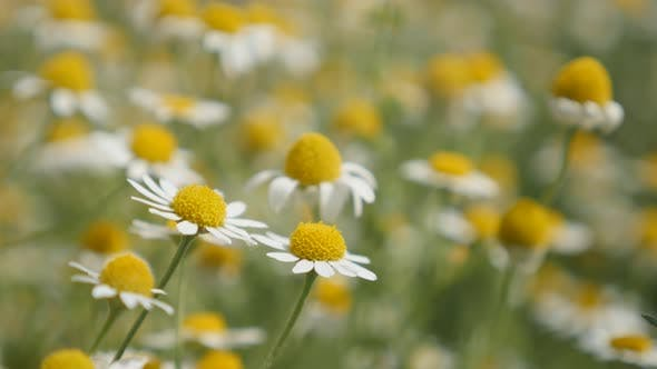 Thumbnail for Fields of herbaceous plant  Matricaria recutita 4K 2160p 30fps UltraHD footage - Common Chamomile wh