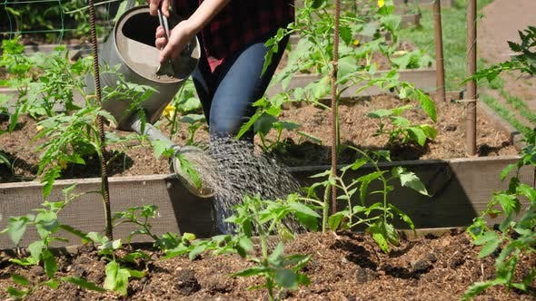 Dolly Video of Female Farmer Watering Fresh Organic Vegetables Growing on Garden Bed with Watering