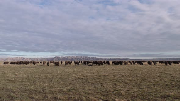 Thumbnail for Bison aka Buffalo Herd Many Animals Eating Grazing by Badlands in Great Plains South Dakota