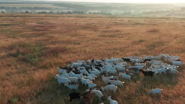 Thumbnail for Aerial View. Pets Quietly Walk Along Field Pasture Grazing Grassland Grass.