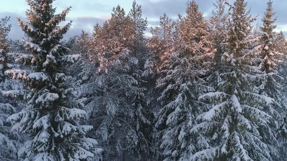 Thumbnail for Forest at Sunrise in Winter
