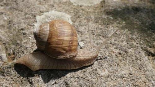 Slow motion Roman or Burgundy snail on the stone 1080p FullHD footage - Helix pomatia escargot outdo