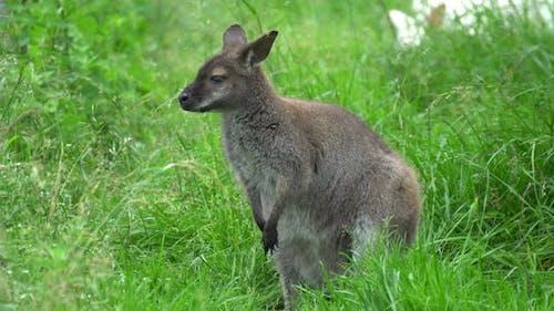 Seated Kangaroo
