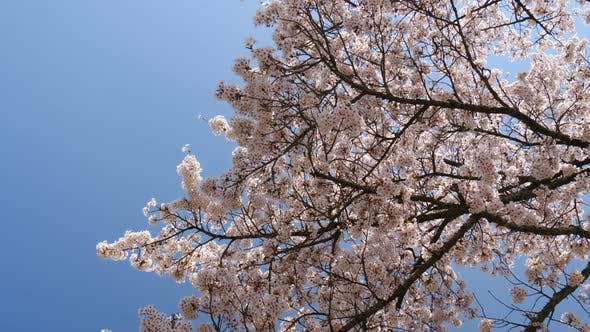 Thumbnail for Cherry Blossom And Blue Sky