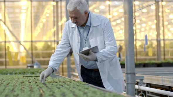 Elderly Agronomist Working in Greenhouse Nursery