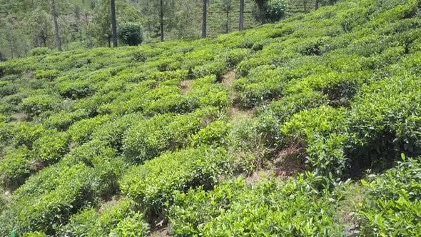 Frische Teebüsche wachsen auf einer großen Plantage am alten Hang