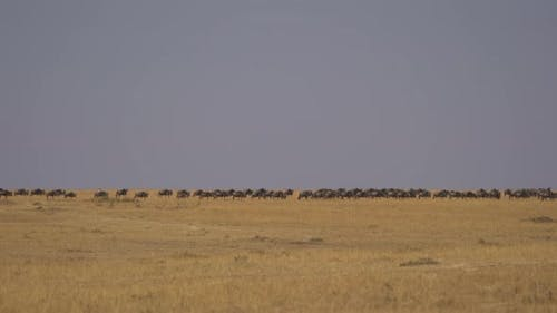 Wildebeests in Masai Mara