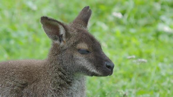 Thumbnail for Bennett's Tree-kangaroo Eats Grass. Dendrolagus Bennettianus Grazing in the Meadow.
