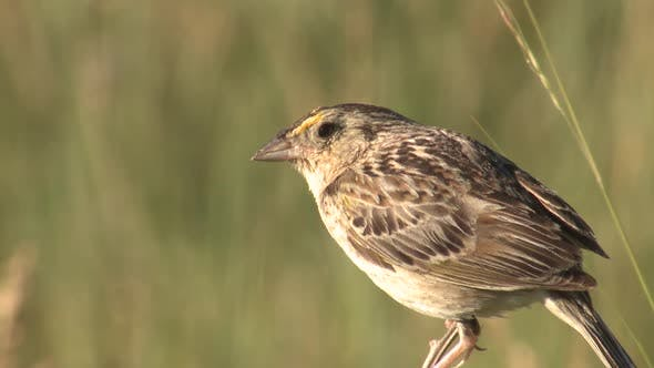 Thumbnail for Closeup of Grasshopper Sparrow Bird or Songbird in Prairie in Summer