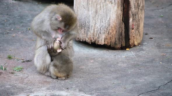 Thumbnail for Japanese Macaques. Monkeys, Mother Cares for the Cub.