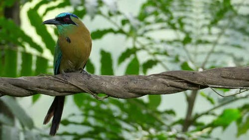 Colorful Motmot Bird in its Natural Habitat in the Forest Woodland