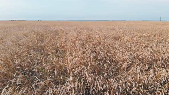 Thumbnail for A Big Field Full of Golden Wheat