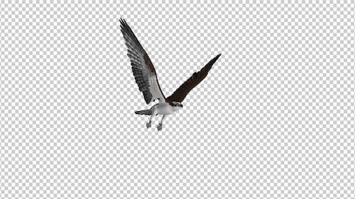 Western Osprey - 4K Flying Loop - Side Angle