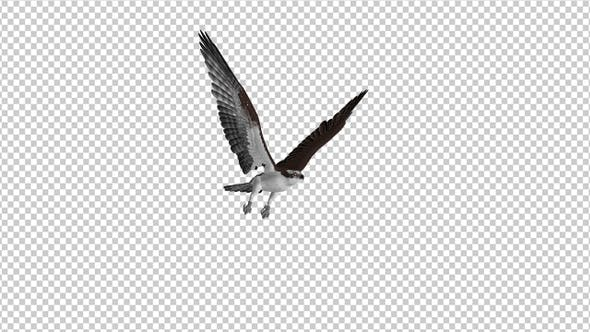 Thumbnail for Western Osprey - 4K Flying Loop - Side Angle