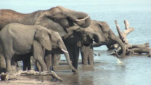 African Elephant Adult Immature Herd Several Drinking Water Dry Season Trunk
