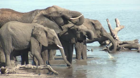 Thumbnail for African Elephant Adult Immature Herd Several Drinking Water Dry Season Trunk