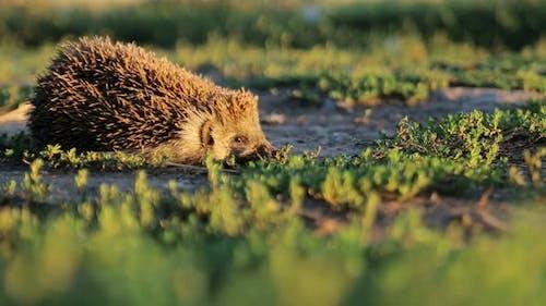 Spring Hedgehog