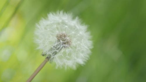 One and only in the field Taraxacum flower green natural background 4K 3840X2160 UHD footage - One b
