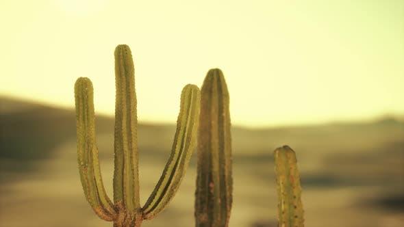 Saguaro Cactus on the Sonoran Desert in Arizona