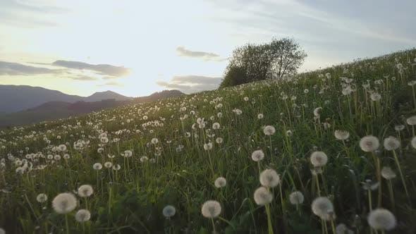 Thumbnail for Sunrise over Dandelion Meadow