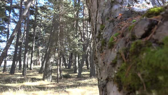 Thumbnail for Pine Forest Starting to Dry