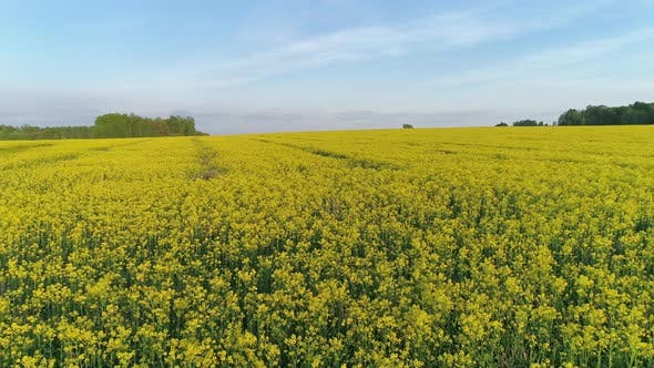 Thumbnail for Aerial View on Beautiful Flowering Rapeseed Field