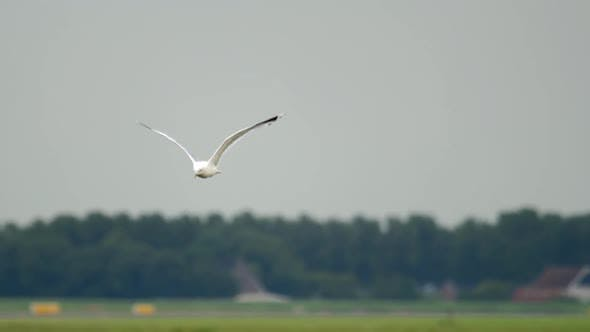 Thumbnail for Seagull Is in Flight Over an Airport